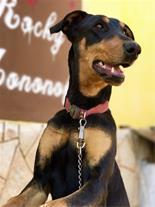 فروش سگ دوبرمن ماده 8 ماهه فوق العاده ( مشهد )