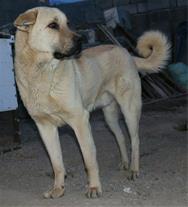 فروش سگ عراقی از نسل وحشی
