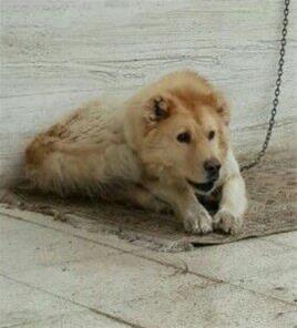سگ عراقي