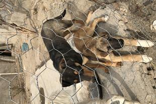 فروش سگ دوبرمن 7 ماهه