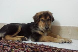 فروش سگ گله و نگهبان