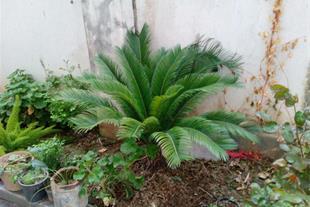 فروش گیاه تزئینی سیکاس