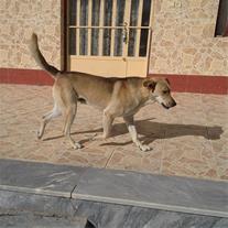 فروش یک قلاده سگ نگهبان در اصفهان