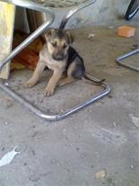 سگ شیانلو ماده