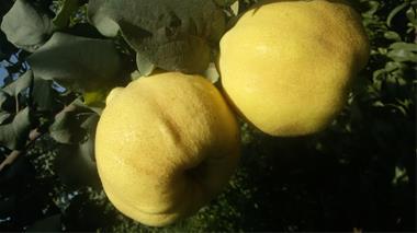 نهال فروشی - نهالستان - فروش نهال میوه و درخت - 1