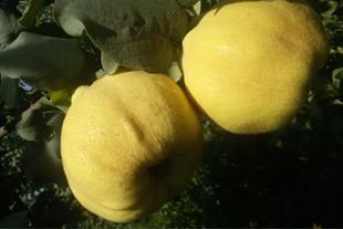 نهال فروشی - نهالستان - فروش نهال میوه و درخت