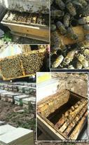 فروش کلنی زنبور عسل نژادهای ایرانی و کارنیکای اصل