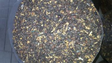 فروش بذر گلابی - قیمت بذر گلابی - 1