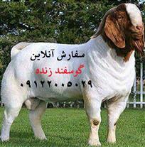 فروش گوسفند زنده - سفارش آنلاین گوسفند زنده