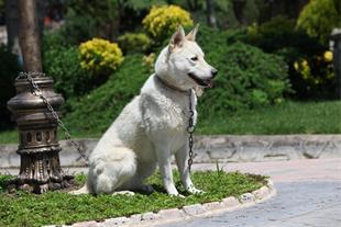 فروش سگ هاسکی - 1