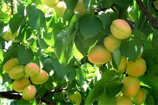 باغ میوه در گردیان جلفا - 1