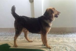 فروش سگ نگهبان دو رگه ژرمن و ایرانی