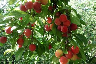 میوه هلو خونی
