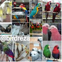 فروش پرندگان زینتی و طوطی سان