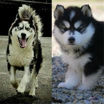 فروش توله سگ هاسکی مالاموت ، سفید  و سفید مشکی