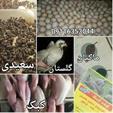 فروش بلدرچین و کبک در استان گلستان