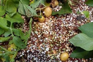 انواع سیب زمینی گلخانه ای