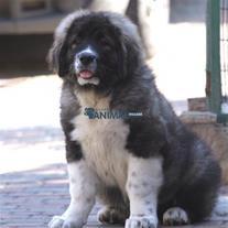 واردات سگ قفقازی , فروش توله قفقازی وارداتی, Cauca