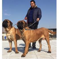 فروش سگ ماستیف ,  فروش فرنچ ماستیف, French Mastiff