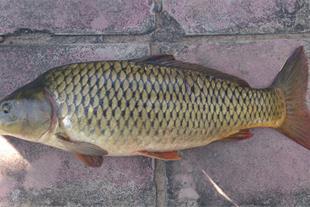 فروش ماهی کپور معمولی
