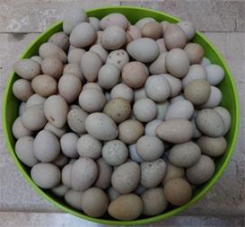 تخم نطفه دار کبک -تخم خوراکی 600 تومان - ایران کبک - 1