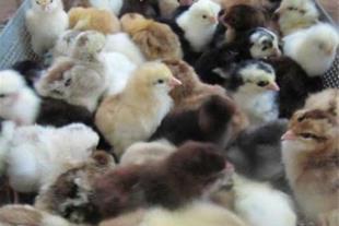 عرضه انواع جوجه مرغ تجاری یکروزه