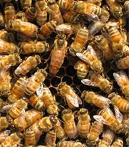 محصولات زنبور عسل ایرانی - 1