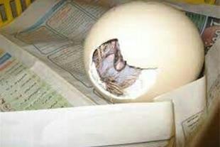 خرید و فروش تخم نطفه دار شترمرغ