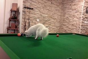 فروش گربه پرشین کت سفید - 1