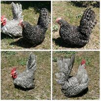تخم نطفه دار مرغ های زینتی