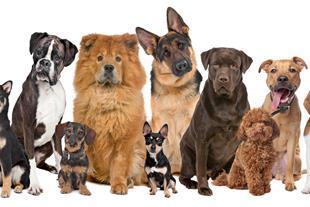 فروش سگ های مولد - سگ بالغ