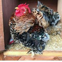 فروش تخم نطفه دار طیور و پرندگان زینتی