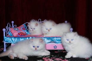 نمایشگاه فروش توله گربه بیواسطه