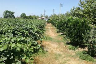 فروش باغ کیوی در بابلسر - 1
