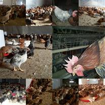 فروش تخم نطفه دار مرغ خروس در نژادهای مختلف