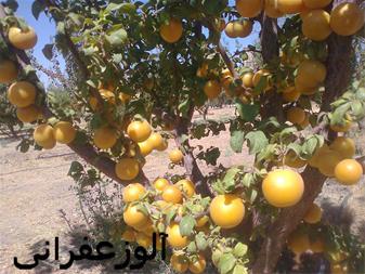 فروش نهال الو زرد قطره طلا مهندس سعید قاسمی - 1