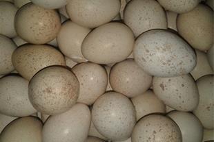 فروش تخم خوراکی و نطفه دار کبک - 1
