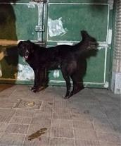سگ نگهبان قهدیرجانی