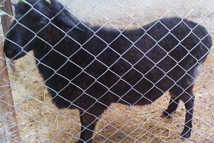 فروش قوچ و گوسفند