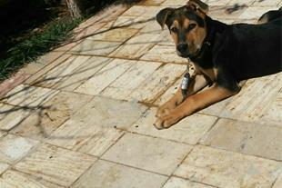 فروش سگ میکس ژرمن