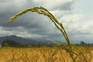 تولید و عرضه برنج آستانه اشرفیه