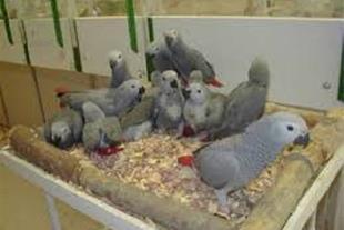 خرید و فروش تخم نطفه دار طاووس