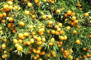 تولید نارنگی خارو در ایران