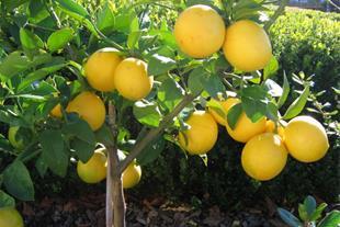 فروش لیمو شیرین