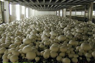 تولید و پرورش قارچ دکمه ای