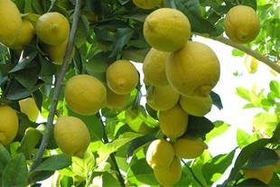 تولید کننده لیمو شیرین جهرم - 1