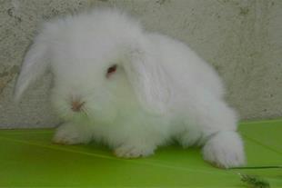 فروش 6عدد بچه خرگوش لوپ سفید و سفید طوسی