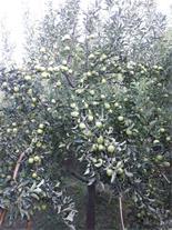 اجاره باغ گردو و سیب