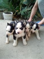 فروش سگ هاسکی سیبرین