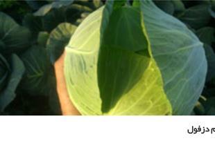 فروش و تامین سبزیجات و صیفی جات